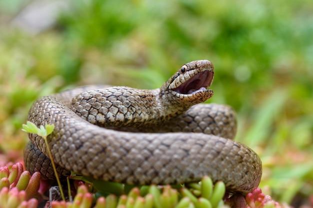 Gładki wąż z otwartymi ustami, coronella austiraca