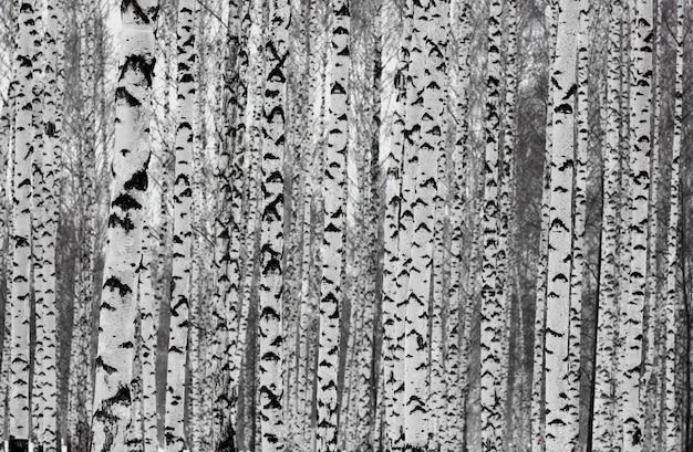 Gładkie smukłe brzozy w zimowym lesie