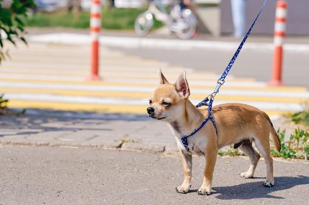 Gładkowłosy pies chihuahua na spacer. chihuahua na ulicach miasta. pies pięknie wygląda w naturze, kopiuje przestrzeń