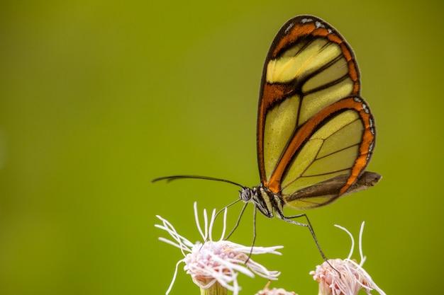 Glasswing motyl na kwiacie