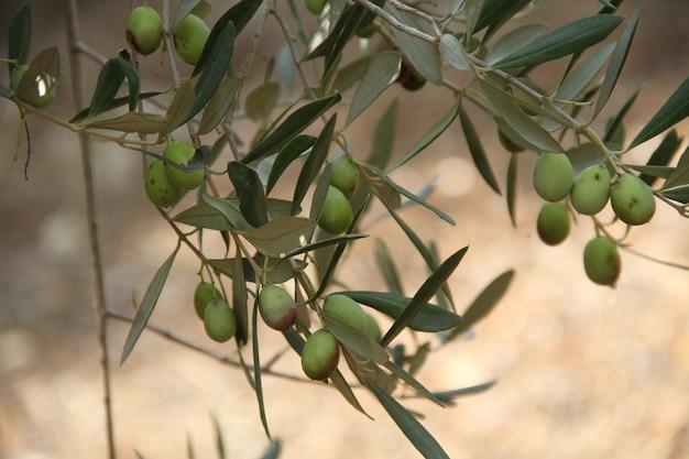 Głębia ostrości drzewo oliwne w świetle dziennym w sezonie letnim