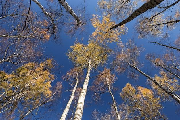 Głęboko błękitne niebo nad żółtymi koronami wysokich brzóz w pogodny jesienny dzień