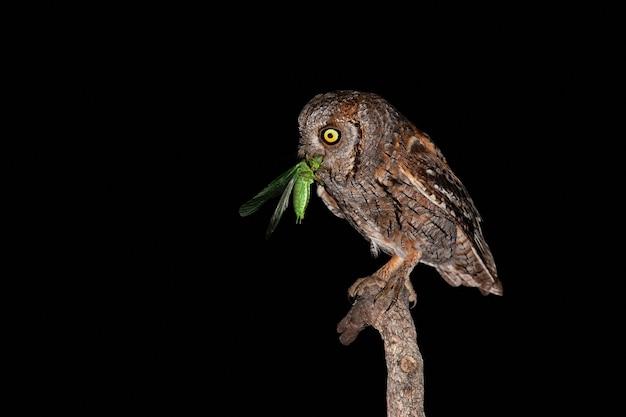 Głodna sowa eurazjatycka z żółtymi oczami je zielonego owada na gałęzi w ciemności
