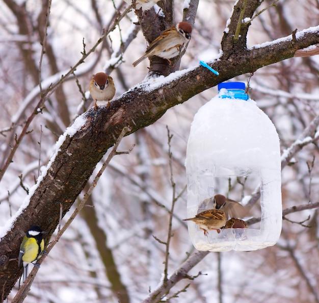 Głodne ptaki wróble żywią się karmnikiem z plastikowej butelki, wczesnym zimowym mroźnym porankiem