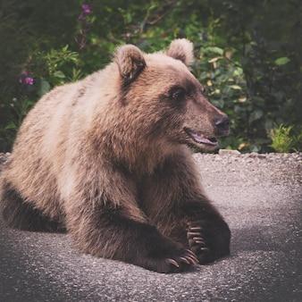 Głodny i zły dziki niedźwiedź brunatny z kamczatki kłamie i odwraca wzrok gotowy na media społecznościowe