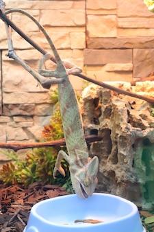Głodny kameleon próbuje wydobyć jedzenie z talerza. kameleon zjada robaki