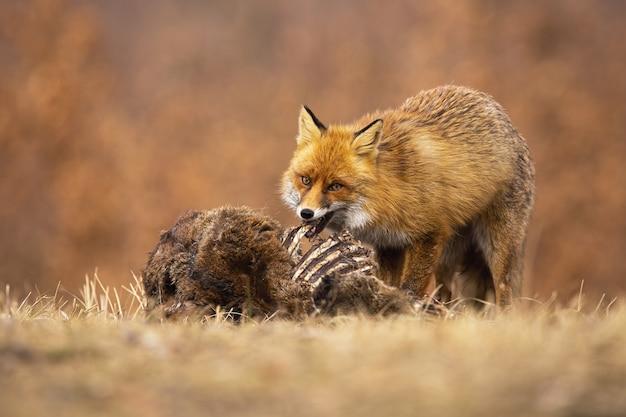 Głodny lis rudy, vulpes vulpes, żerujący na łące w jesiennej przyrodzie.