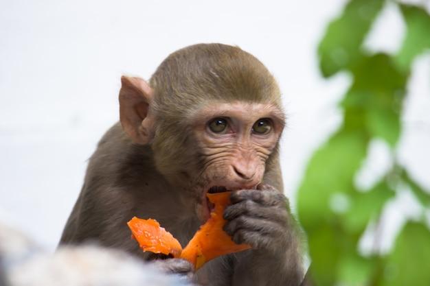 Głodny makak rezus jedzący owoce pod drzewem w letnie popołudnie
