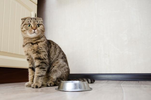 Głodny zabawny kot szuka i czeka na jedzenie
