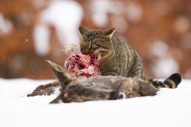 Głodny żbik europejski żywiący się martwą zdobyczą na śniegu w zimie
