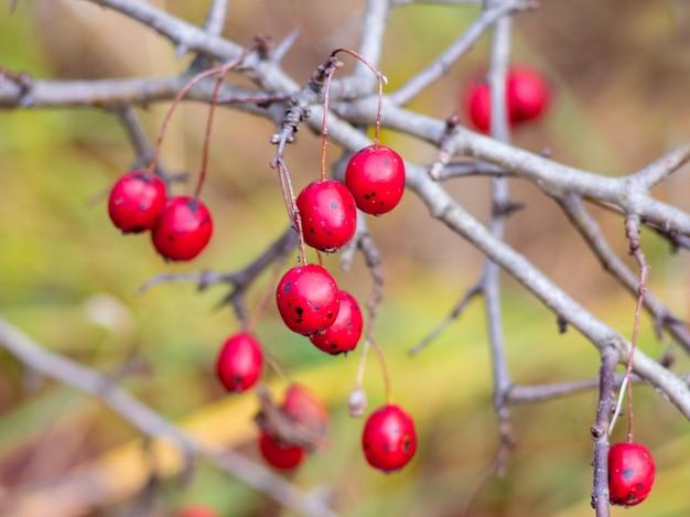 Głóg czerwonych dojrzałych jagód na gołych gałęziach jesienią