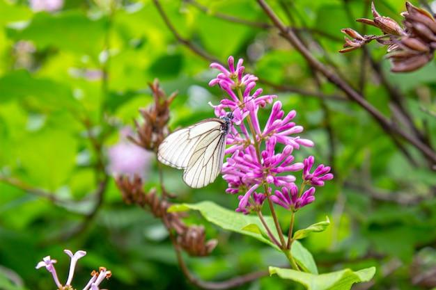 Głogowy motyl na kwiatku. głogowy motyl na kwiatku. ścieśniać. natura syberii, rosja