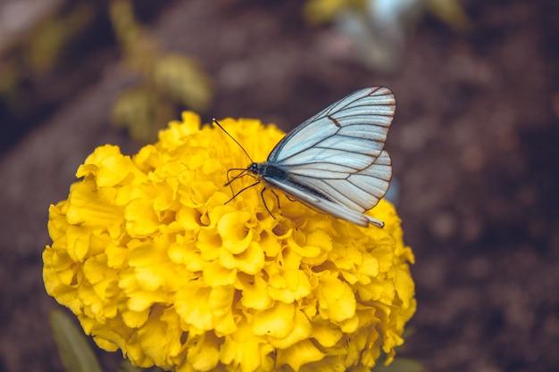 Głogowy motyl na żółtym kwiacie. głogowy motyl na żółtym kwiacie. ścieśniać. natura syberii, rosja