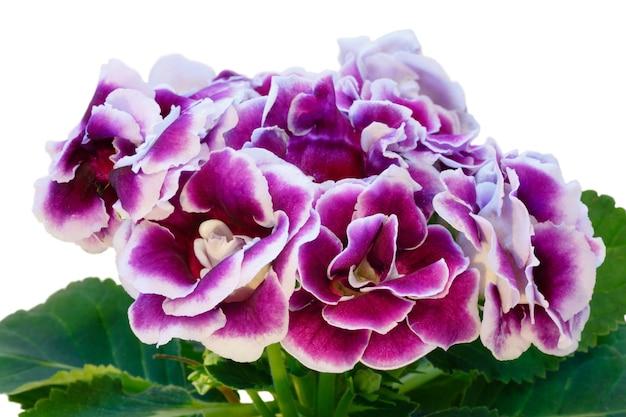 Gloksynia roślina z fioletowo-białymi kwiatami na białym tle.