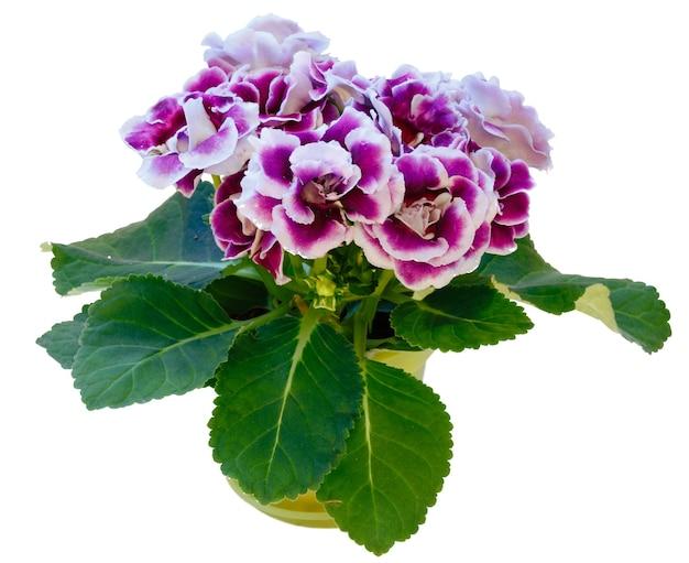 Gloksynia roślina z fioletowo-białymi kwiatami w doniczce na białym tle.