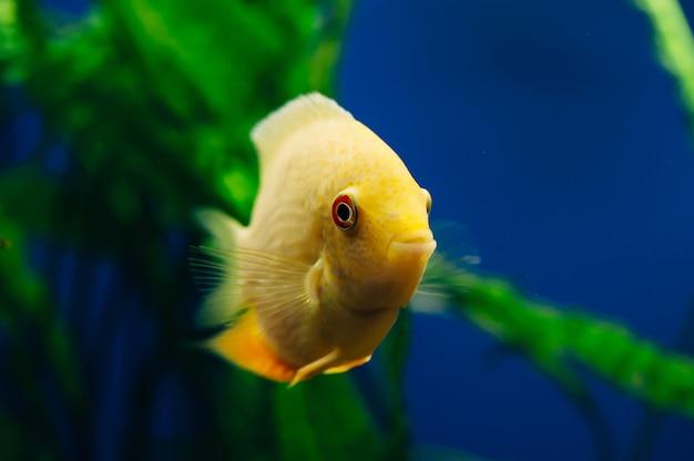 Glony heros severus unoszą się w tle. żółta ryba.