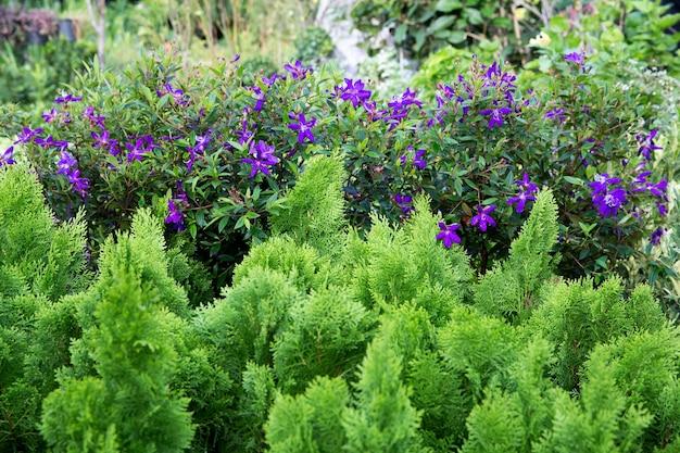 Glory bush, brazylijski kwiat pająka, lasiandra, kwiat księżniczki, pleroma, drzewo purple glory, jest to mały krzew o zielonych liściach.