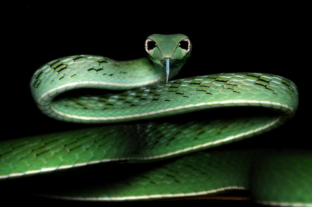 Głowa azjatyckiej twarzy węża winorośli, azjatyckiego węża winorośli gotowego do ataku, głowa azjatyckiej twarzy zbliżenia węża winorośli z czarnym tłem