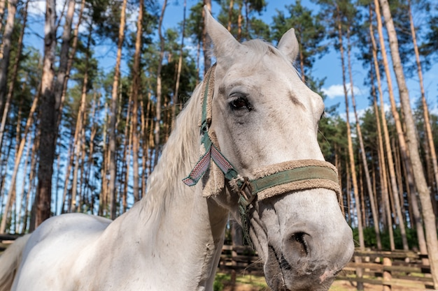 Głowa białego konia z uzdę, zbliżenie zewnątrz strzał.