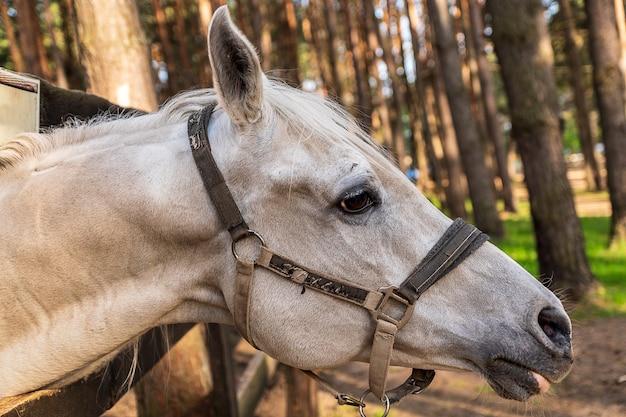Głowa białego konia z uzdy