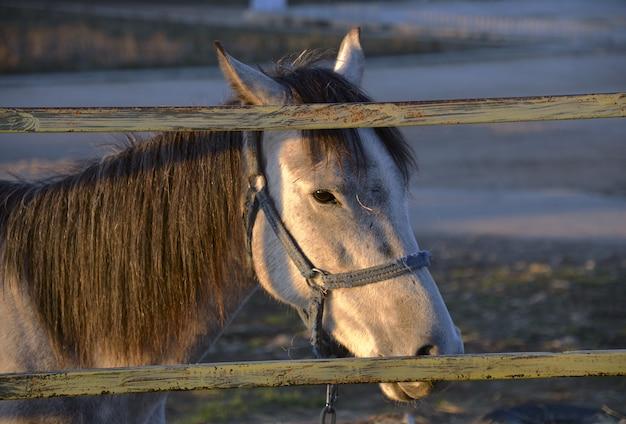 Głowa białego konia za ogrodzeniem