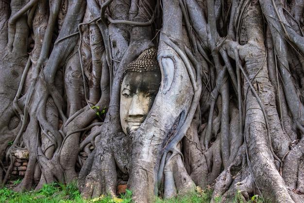 Głowa buddha statua w korzeniu bodhi drzewo przy watem mahathat w ayutthaya tajlandia.