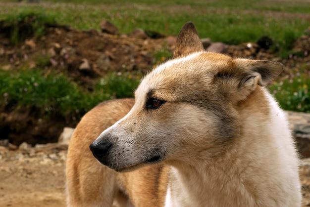 Głowa czerwonego słodkiego kundla bezpańskiego psa zbliżenie