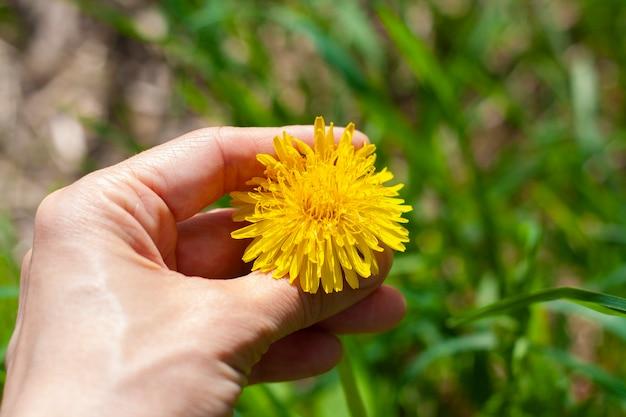 Głowa dmuchawca w dłoni na trawie
