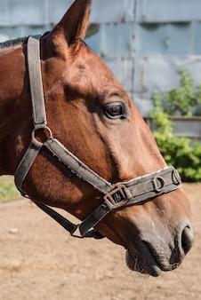 Głowa gniady koń z uzdę w profilu zbliżenie. zdjęcie zrobione w rosji, w mieście orenburg