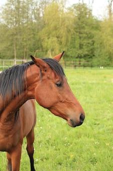 Głowa i szyja brązowego konia