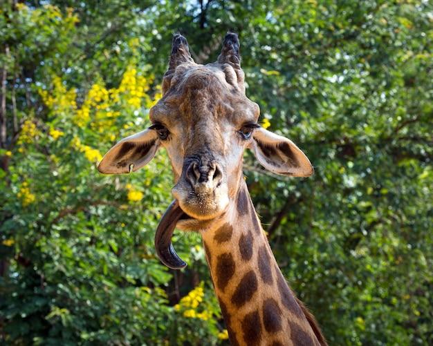 Głowa i szyja żyrafy w dzikiej przyrodzie.