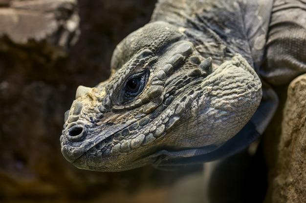 Głowa iguany