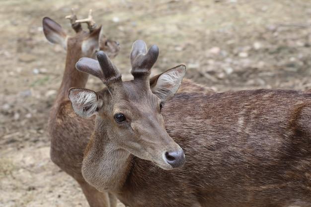 Głowa jelenia z bliska
