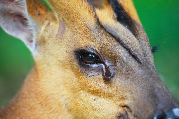 Głowa jelenia, zbliżenie