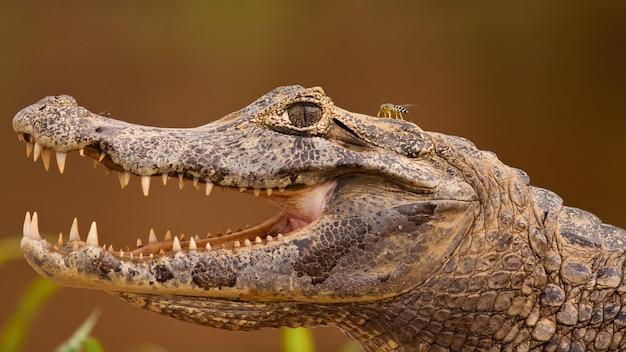 Głowa kajmana yacare z otwartą paszczą i widocznymi zębami, pantanal, brazylia