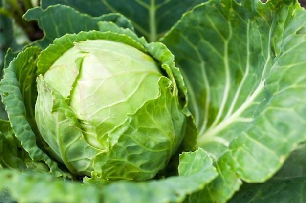 Głowa kapusty rosnąca na łóżku warzyw
