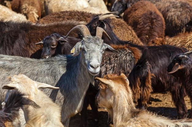Głowa kozy na tle stada kóz i baranów