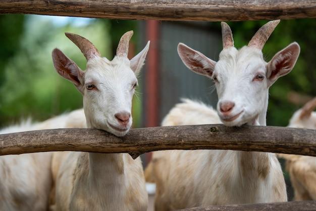 Głowa kozy w klatce na farmie