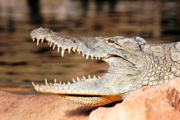 Głowa krokodyla spoczywa na skale z otwartymi ustami