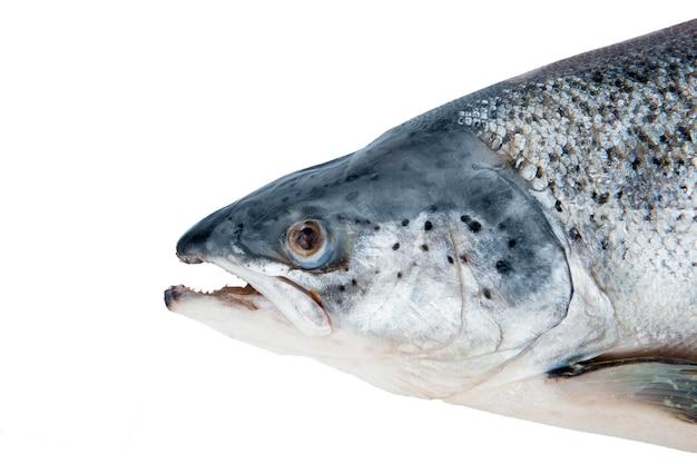 Głowa łososia na białym tle