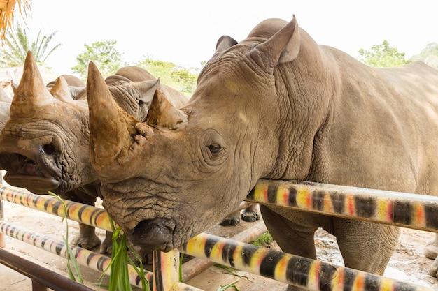 Głowa nosorożca białego