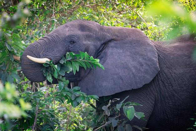 Głowa portret dużego roślinożernego szarego słonia afrykańskiego jedzącego zielone liście z drzew