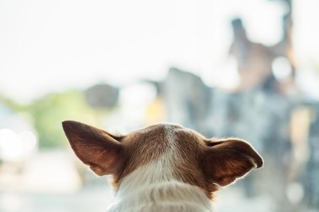 Głowa psa chihuahua szuka czegoś w szklanym pokoju