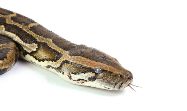 Głowa pythona z bliska