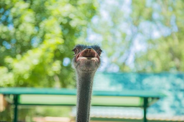 Głowa strusia struś wygląda z otwartymi ustami tło jest rozmazane