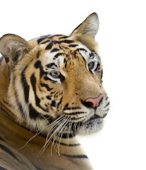Głowa tygrysa na białym tle