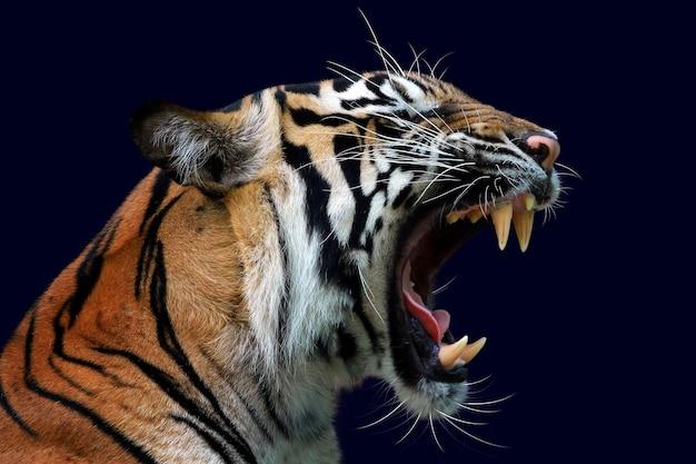 Głowa tygrysa sumatera zbliżenie z ciemnoniebieską ścianą