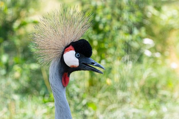 Główka żurawia koronowanego lub balearica regulorum w naturze