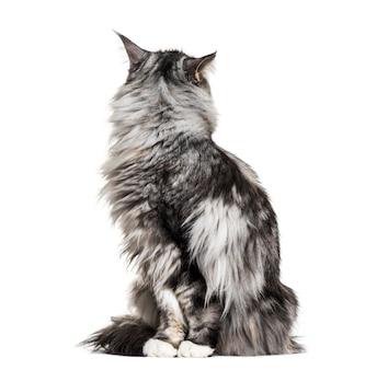 Główny kot coon siedzi, patrząc wstecz, na białym tle