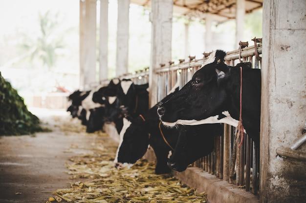 Głowy czarno-białych krów holsztyńskich żerujących na trawie w stajni w holandii